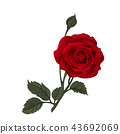 Beautiful red rose isolated on white. 43692069