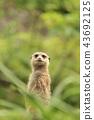 초원의 미어캣 정면 2 43692125