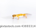 Adorable leopard gecko isolated on white 43693314