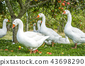 White geese under an apple tree 43698290