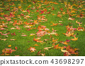 Autumn maple leaves in golden colors 43698297