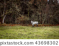 White horse on a field with a fence 43698302