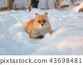 雪地里的狐狸-北海道北见狐狸村 43698481