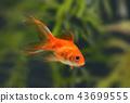 Goldfish in aquarium 43699555