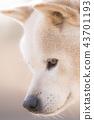 귀여운 강아지 일본 강아지 개 43701193