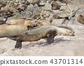 미국 캘리포니아 주 샌디에이고 라호야의 해안 바다 사자의 무리 43701314