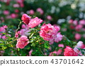 장미, 장미꽃, 로즈 43701642