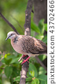 Bird (Dove, Pigeon or Disambiguation) in a nature 43702466