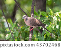 Bird (Dove, Pigeon or Disambiguation) in a nature 43702468
