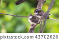 Two birds (Malaysian Pied Fantail) in nature wild 43702620