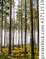 Colorful pine tree forest 43711519