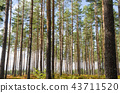 Beautiful pine tree forest 43711520