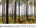 Bright pine tree forest 43711521