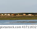 Herd of grazing cattle in a marshland 43711632