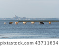 Cattle on the go in the water 43711634