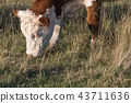 Head and nose of a grazing cow 43711636