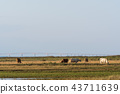 Grazing cows in a wetland 43711639