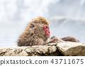 나가노지고 쿠 다니 온천 온천에 들어가는 원숭이 43711675