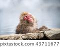 長野Jigokudani溫泉日本猴子進入溫泉 43711677