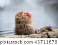 長野Jigokudani溫泉日本猴子進入溫泉 43711679