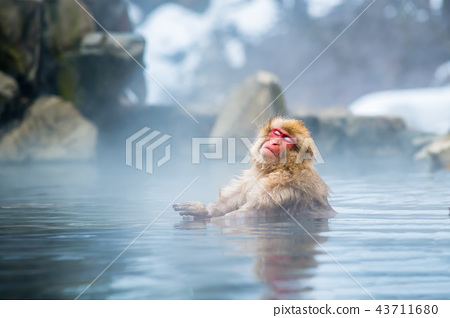 나가노지고 쿠 다니 온천 온천에 들어가는 원숭이 43711680