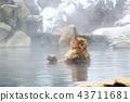 長野Jigokudani溫泉日本猴子進入溫泉 43711681