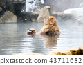 나가노지고 쿠 다니 온천 온천에 들어가는 원숭이 43711682