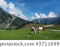 horse grazing grass in meadow in the morning 43711699