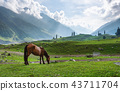 horse grazing grass in meadow in the morning 43711704