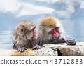 나가노지고 쿠 다니 온천 온천에 들어가는 원숭이 43712883