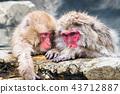 나가노지고 쿠 다니 온천 온천에 들어가는 원숭이 43712887