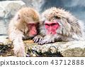 나가노지고 쿠 다니 온천 온천에 들어가는 원숭이 43712888