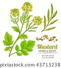 mustard plant vector 43713238