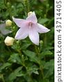 Balloon Flower Shell Pink 43714405