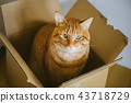 茶在紙板箱的老虎貓 43718729