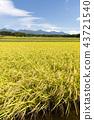 稻田风景 43721540