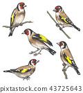 Hand Drawn Colorful Goldfinch Bird  Sketch 43725643