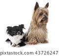 young chihuahua and yorkshire terrier 43726247