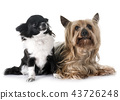 young chihuahua and yorkshire terrier 43726248