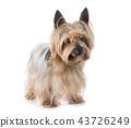 yorkshire terrier in studio 43726249