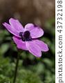 銀蓮花屬的花 43732198