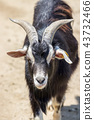 animal animals livestock 43732466