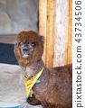 고베 동물 왕국의 알파카 43734506