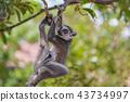 원숭이, 몽키, 동물 43734997