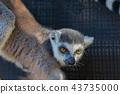 고베 동물의 왕국 반지 꼬리 43735000