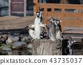 고베 동물의 왕국 반지 꼬리 43735037