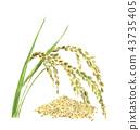 Rice panicle and rice 43735405