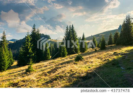 spruce forest on the grassy hill at sunset 43737478