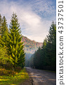 road through deep spruce forest 43737501