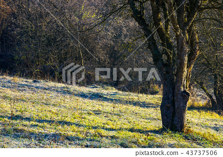 naked apple tree in orchard at sunrise 43737506